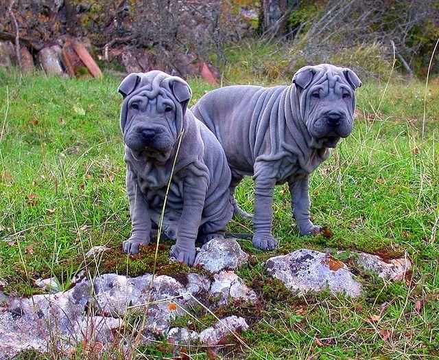 Собака шарпей - умное и сообразительное животное, прекрасно поддается дрессировке