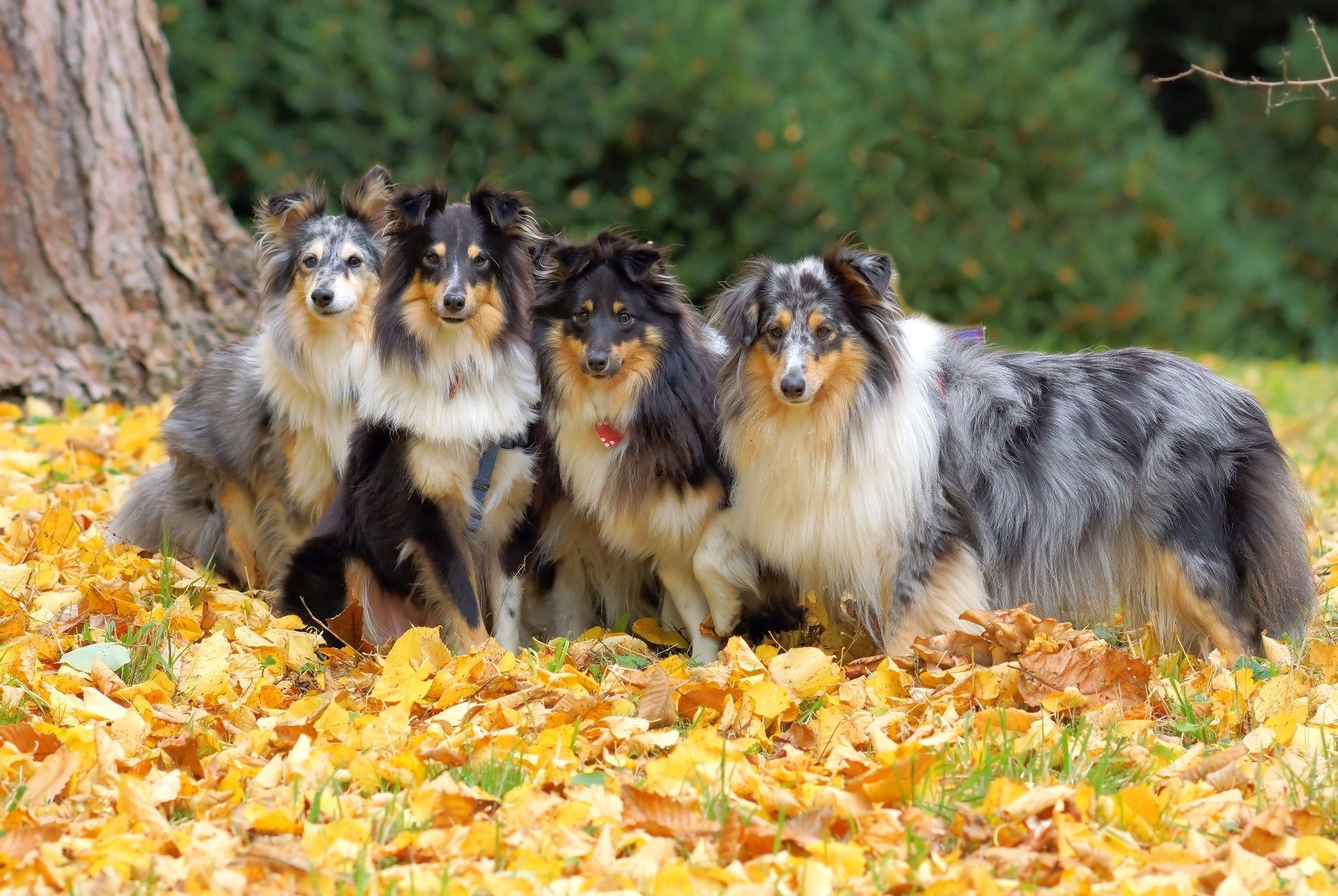порода собак фото шелти
