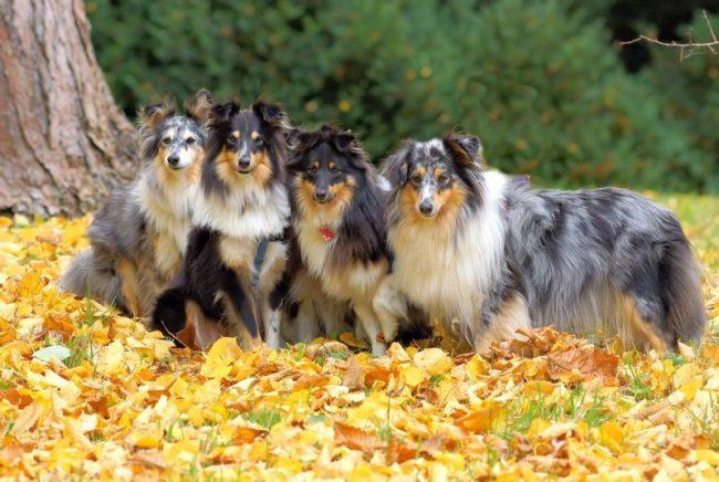 К тому же, шелти считается одной из самых умных собак