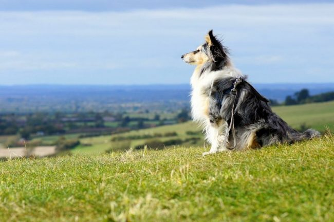 Многие считают, что это и есть самая красивая порода собак в мире. С этим сложно не согласиться: длинная шелковистая блестящая шерсть, красивые расцветки, лисья форма морды, горделивая походка – ну чем не королевна
