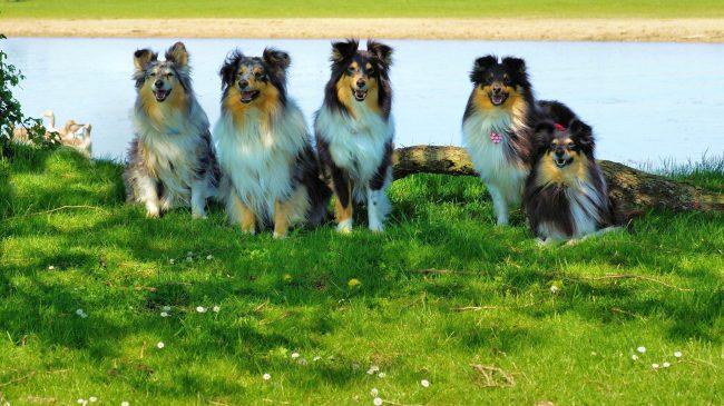 Хозяева собак шелти должны знать, что стричь густую длинную шерсть этой собаки категорически запрещается, это может стать причиной гормональных сбоев в организме. Достаточно периодически (2-3 раза в месяц) расчесывать любимца мягкой щеткой, этого вполне хватит для поддержания внешнего вида питомца