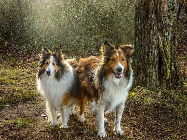 Чаще всего в современном мире порода собак шелти используется в качестве домашних любимцев - добрых, игривых и красивых