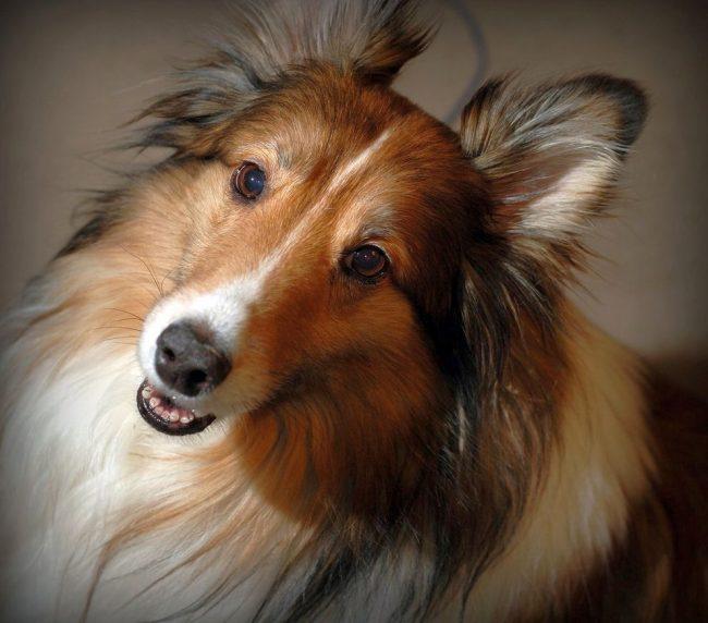 Порода собак шелти не проявляет признаков агрессии к прочим представителям животного мира. Новый питомец быстро находит общий язык с живущими в доме собаками, хотя котов и белок часто гоняет