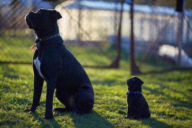 Прежде, чем купить щенка кане корсо, подумайте, сможете ли вы обеспечить своему питомцу сбалансированный рацион. От качества питания зависит и строение малыша, здоровье, и внешний вид