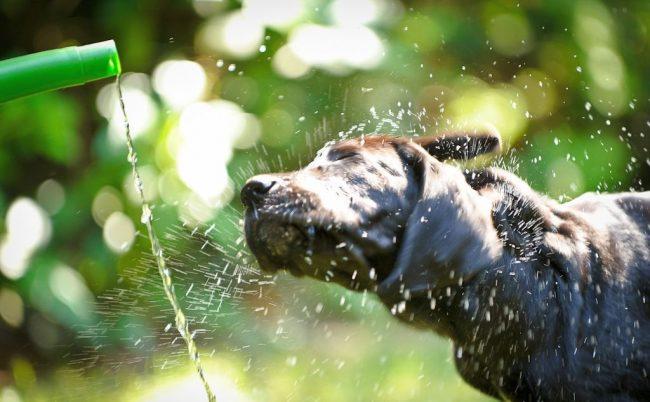 Взрослые собаки кане корсо, щенки очень любят в жару принимать душ
