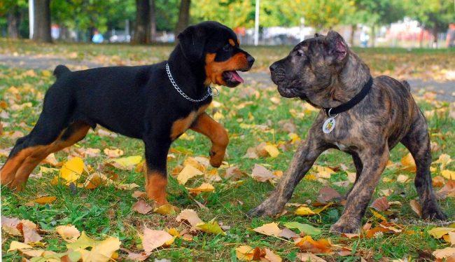 Избегайте незнакомых собак, особенно если те воспитаны не так, как вам бы хотелось. Щенки кане корсо очень любят подражать другим питомцам, и могут быстро перенять привычки невоспитанной собаки в парке