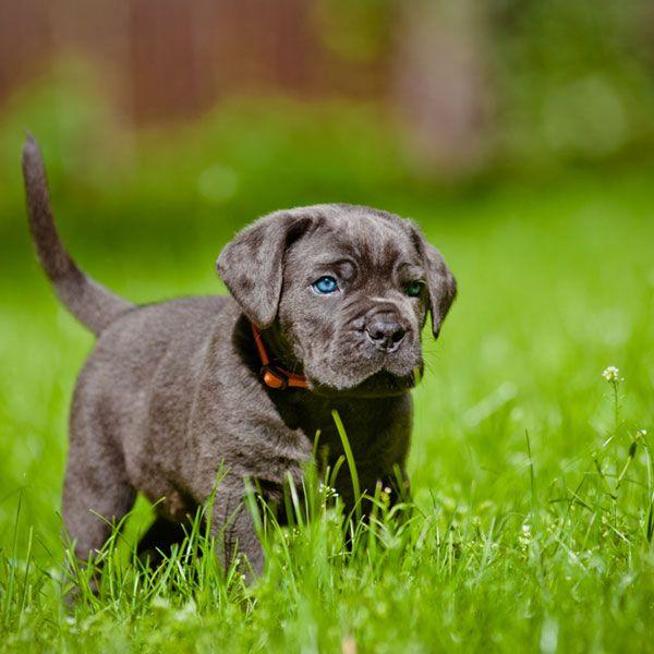 Кане корсо щенки - это чудесные голубоглазые малыши, которые полны сил и энергии
