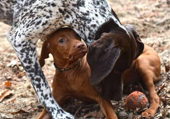 Чтобы расти и набираться сил, щенки курцхаара должны получать разнообразное и сбалансированное питание