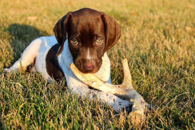 В 4 месяца у щенка начинают меняться молочные зубы. В этот период, который может растянуться до полутора лет, собака тренирует свои зубы на разных предметах и грызет все подряд
