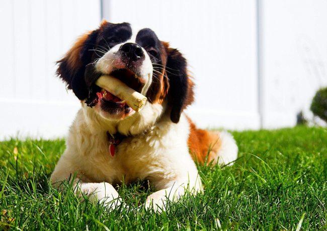 Щенки сенбернара любят погрызть косточку, и это очень полезно, ведь сухожилия помогут правильно развиться зубкам собаки. Однако кость должна быть большой и сырой