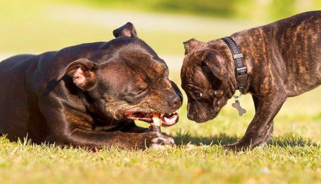 Мама стафф учит щенка грызть палочку