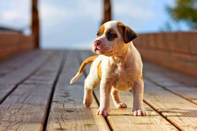 В воспитании и обучении щенки стаффорда делают большие успехи. Однако во всех ваших поступках должна превалировать похвала