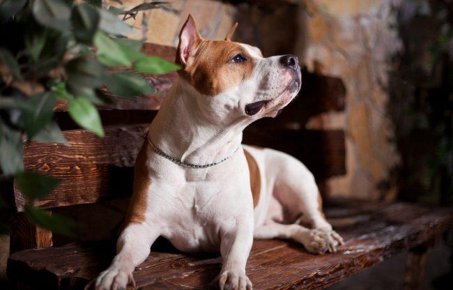 """По мере взросления стаффорд будет пытаться проверить, кто в доме хозяин. И """"захват"""" новых территорий входит в его стратегию. Поэтому важно всегда давать понять собаке, что у нее есть свое место, которое строго ограничено"""