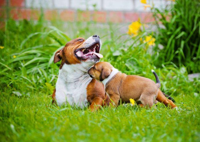 Щенки стаффорда очень скучают за своей мамой. Позаботьтесь, чтобы малыш был окружен вашим вниманием и заботой