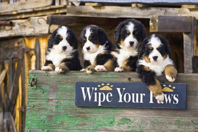 Приучать к опрятности и порядку щенков нужно с детства. Они должны знать, например, что после улицы нужно непременно вытереть лапы