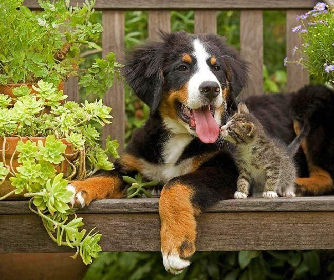 Щенки бернского зенненхунда дружелюбно относятся к другим животным и любят проводить вместе время