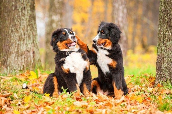 Игривые братики-щенки бернского зенненхунда