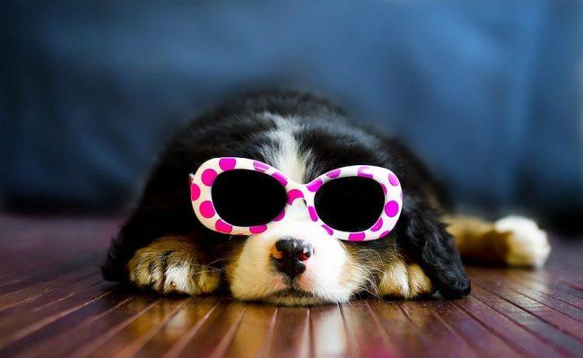 Щенки бернского зенненхунда смотрят на мир сквозь розовые очки. Поэтому им нужен волевой хозяин, который сможет воспитать настоящего храброго пса