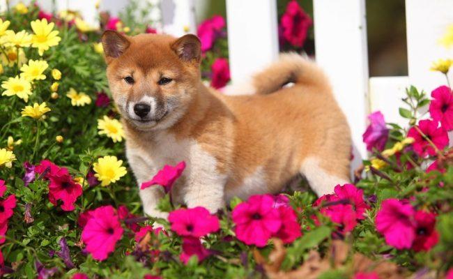 Японские породы собак между собой очень похожи, ведь они имеют общие признаки. Это клиновидная голова, хвост колечком, маленькие прямые ушки, глубокосидящие глаза, по форме напоминающие треугольник
