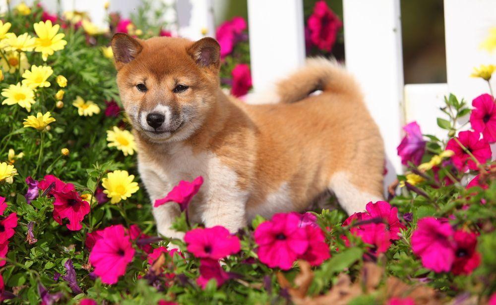 собаки популярные в японии