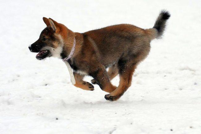 Шерсть у сикоку достаточно густая, чтобы защитить собаку в морозы и ветер