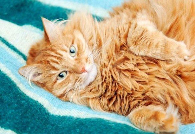 У сибирских кошек рыжий окрас встречается редко, но если вам посчастливилось обрести такого котенка, считайте, что в ваш дом пришло много счастья