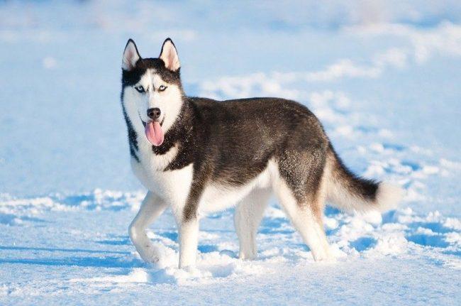 Многих привлекает в этих собаках их «волчий» окрас. Подтянутое, крепкое тело, умный и проникновенный взгляд, предельная неагрессивность к человеку