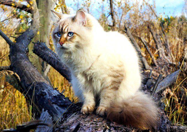 Поскольку в Сибири, от куда родом сибирская кошка, большую часть года свирепствуют холода, из-за пронизывающих ветров и морозов у кошечек сформировался густой подшерсток и длинная плотная шерстка