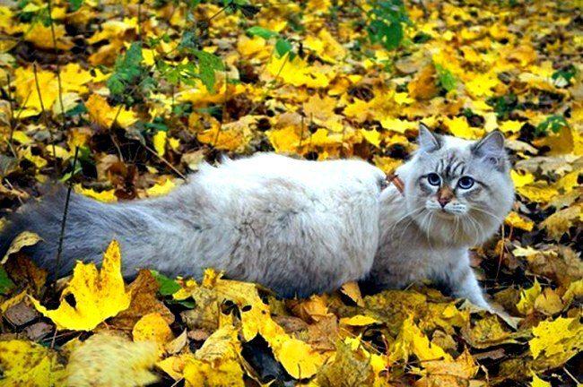 Не удивляйтесь, если ваша сибирская кошка будет периодически отлучаться по своим делам. Это нормально. Она нагуляется и вернется домой