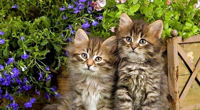 Меленькие представители сибирской породы кошки