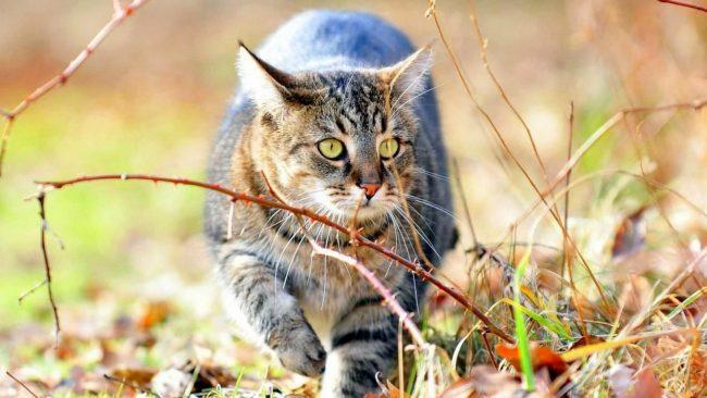 Немалое влияние на формирование характера и внешнего вида сибирской кошки дало взаимодействие с лесным котом, который там обитал в сибирских лесах