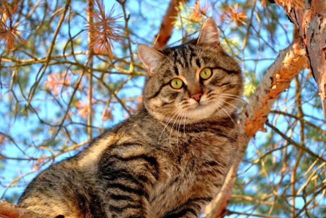 Сибирская кошка обладает непростым характером, поскольку эти животные полны собственного достоинства, и подчинить их своей воле получается редко
