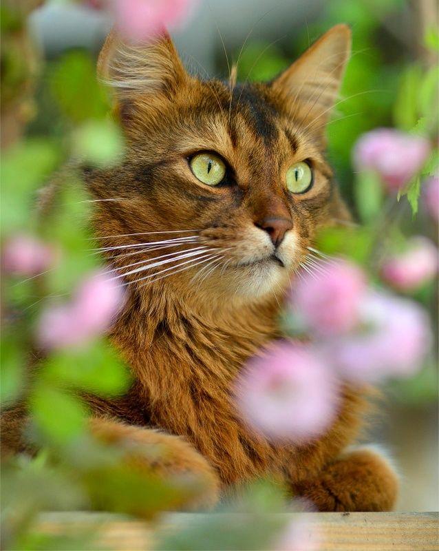 Сомалийская кошка имеет интеллектуальное выражение морды и весьма спортивное тело. Движения ее пластичны и полны силы. Аристократические манеры сочетаются с повышенной игривостью, так что владелец кошки сомали всегда знает, чем занять свой досуг