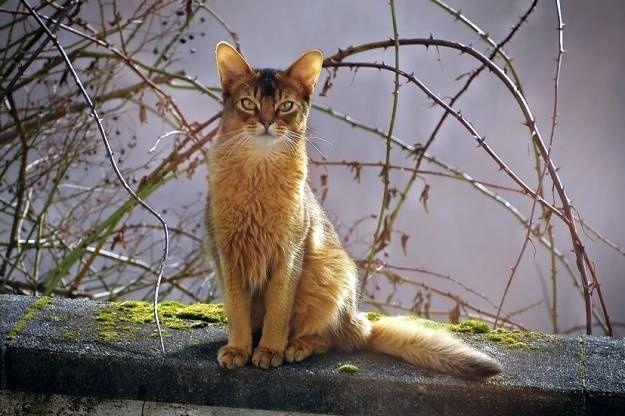 """Сомалийская кошка окраса """"косуля"""""""