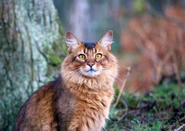 Сомалийская кошка появилась в результате сложной работы селекционеров с представителями абиссинской породы. Так что сомалийцы с абиссинцами – близкие родственники, отличаются только длиной шерсти и богатством оттенков