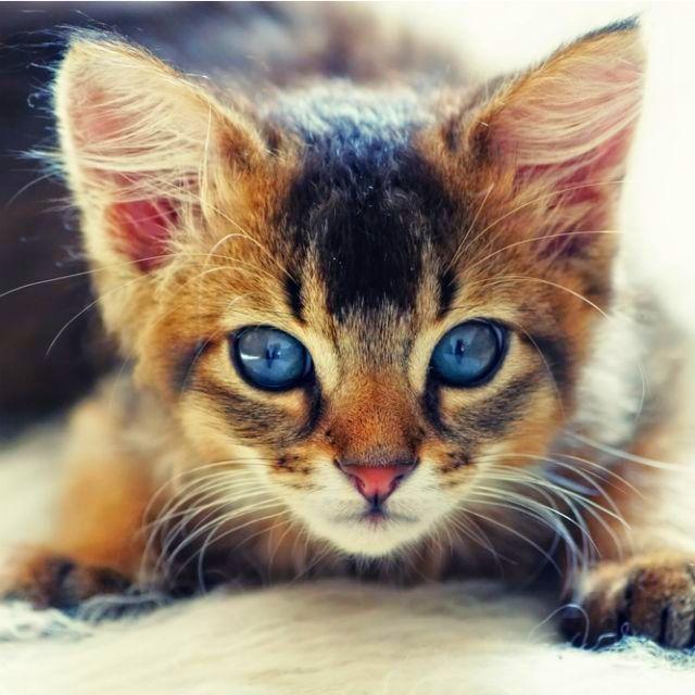 Кошку с самого детства нужно приучать к опрятности, тогда во взрослом возрасте не будет проблем
