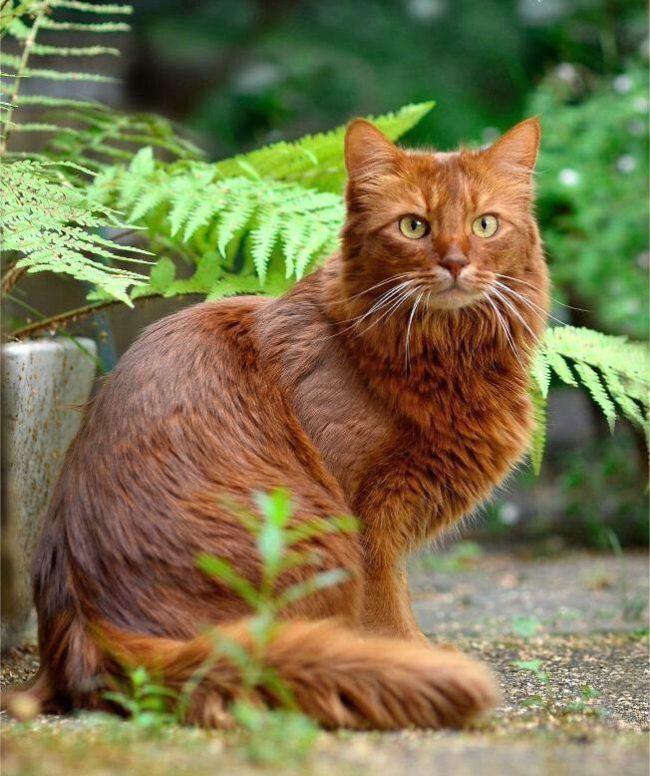 """Сомалийская кошка """"дикого"""" окраса"""