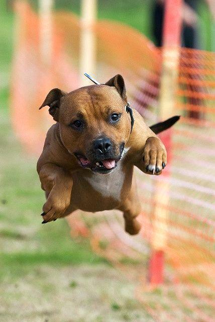 Собака стаффордширский терьер обладает суперспособностями и умеет летать. Правда, это если ее вкусно накормить