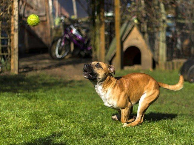 Собака стаффордширский терьер обожает активное времяпровождение, он а любит много гулять, бегать, прыгать, чем больше игр вы сможете предложить питомцу, тем лучше