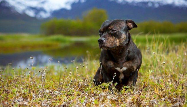 Многие считают, что собака стаффордширский терьер имеет агрессивный характер и не любит незнакомых людей. Это не так, данная порода очень социальна, она любит детей и обожает, когда в дом приходят в гости