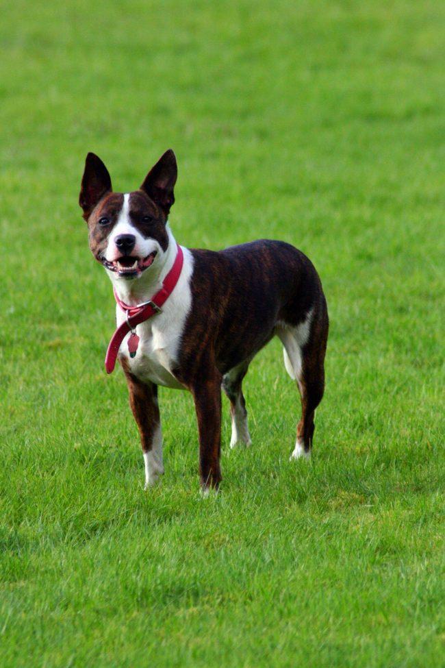 Собака стаффордширский терьер в своей время называлась пит-бультерьерами, хаф-энд-хаф, питбуль и пр. Свое окончательное название порода получила лишь в 1972 году и стала называться американский стаффордширский терьер