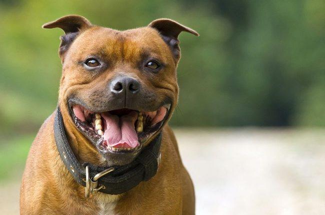 Собака стаффордширский терьер отлично приживается в доме, не проявляет агрессии к незнакомцам и любит проводить время с детьми. Эта собака дружелюбна и обожает компании, поэтому станет незаменимым другом для семьи