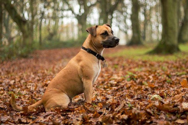 Раньше стафф участвовал в собачьих боях и считался собакой-охранником. Сегодня собака стаффордширский терьер активно принимает участие в разного рода выставках, а также является отличным защитником и другом для семьи