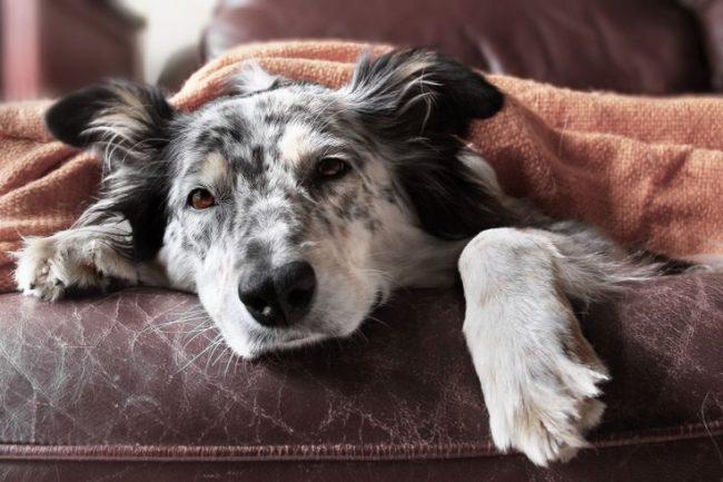 Стафилококк у собак может способствовать развитию и других болезней