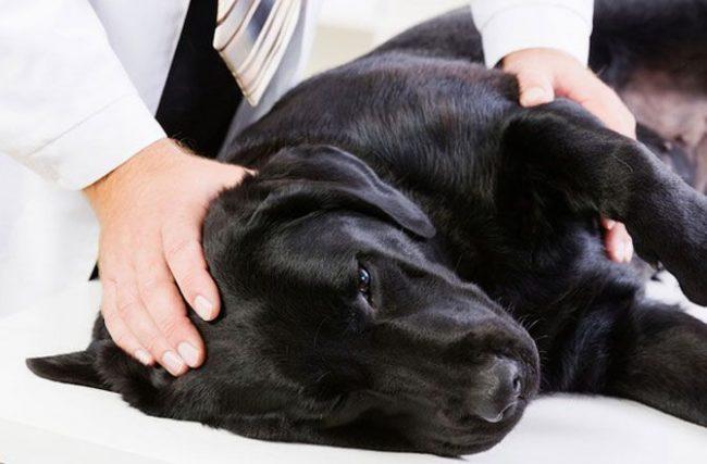 Ветеринары прописывают собакам антибиотики, прием которых ведется либо три, либо – в тяжелых случаях – шесть недель