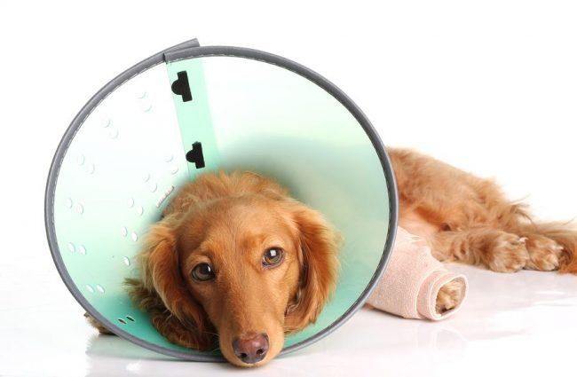 Если развился стафилококк у собак, лечение предусматривает, прежде всего, снятие кожного зуда, поскольку царапины на коже ведут к повторным заражениям и препятствуют процессу выздоровления