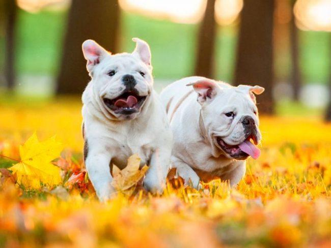 На кожном покрове собак стафилококк в стазисном состоянии присутствует всегда. При этом здоровый иммунитет ограждает животное от развития инфекции. Однако в летний период, когда собак чаще и дольше выгуливают, и они контактируют с большим количеством других особей, а также при вязке, наступает «время стафилококка»