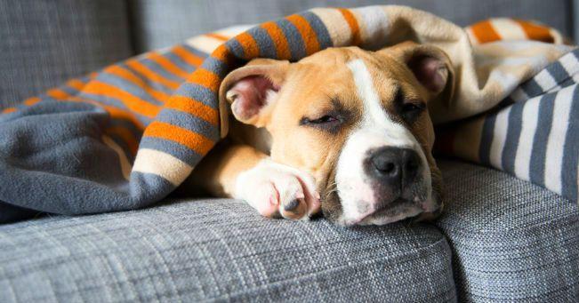 золотистый стафилококк заразен ли для собак