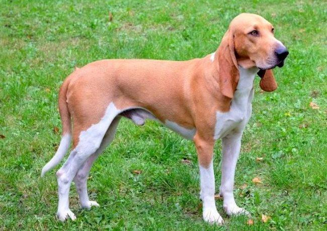 Швейцарская гончая считается одной из наиболее умных собак