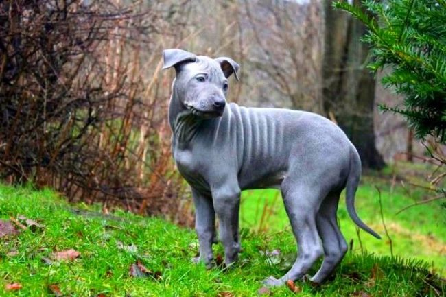 """На пятом месте рейтинга """"Самая дорогая порода собак в мире"""" расположился красавец-тайский риджбек, за которого нужно будет выложить от 800 до 4 тыс. дол."""